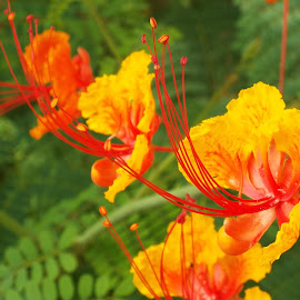 Mexican Bird of Paradise by Donna Probasco - Novices Only Flowers & Plants (  )