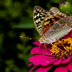 Mariposa by Daly Sda - Animals Insects & Spiders ( mariposa, butterflies, flor, naturaleza,  )