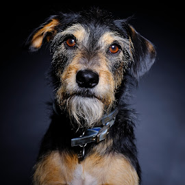 My Foster Boy Mafia by Phil Anderson - Animals - Dogs Portraits ( studio, fujifim, profoto )