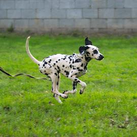 running by Ditte Foto - Animals - Dogs Running ( dog playing, happy dog, run, dog, dots, running, animal )