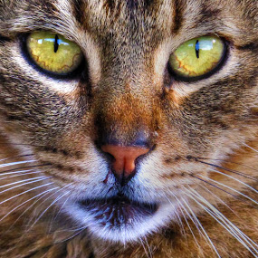 by Luna Sol - Animals - Cats Portraits (  )