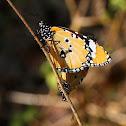 Oriental Plain Tigers, Mating