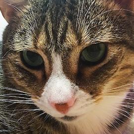 Jorah's Green Eyes by Debra Branigan - Animals - Cats Portraits ( cats, animals, jorah, portrait, photography )