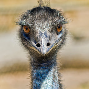 Crazy Emu by Steve Hatton - Animals Birds ( australian bird, australia, coat of arms, emu, crazy bird, national emblem, flightless australian bird, portrait, large australian bird )