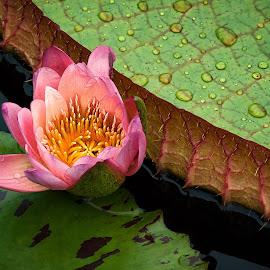 Lily In The Rain by Jon Kinney - Flowers Single Flower