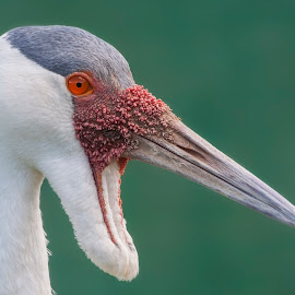 Wattled Crane by Eleanor Hattingh - Animals Birds ( freedom, safari, south africa, crane, birds )