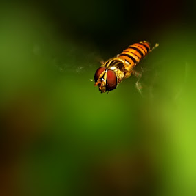 Flying Fly by Prana Jagannatha - Animals Insects & Spiders ( wildlife, insects )