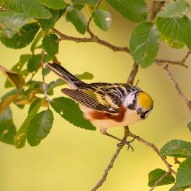 Chestnut-sided Warbler by Steve Munford - Animals Birds ( animals, nature, cestnut-sided, birds, warbler )