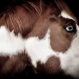 Blue Eye by Aaron Steele - Animals Horses