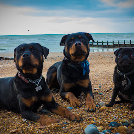 Two Rottweilers and a Pug called Batman by Jenny Trigg - Animals - Dogs Portraits ( dog portrait, beach, dog, pug, rottweiler )