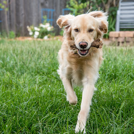 Fetch! by Dani Ammel - Animals - Dogs Running ( fetch, outdoors, play, dog, running )