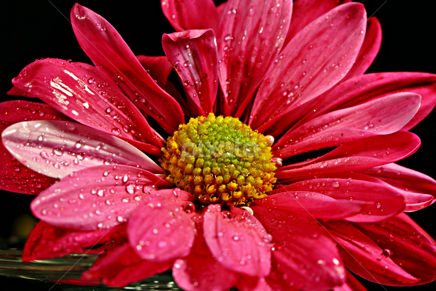 Red flower by Dipali S - Nature Up Close Flowers - 2011-2013 ( water, red, nature, flora, drops, flower )