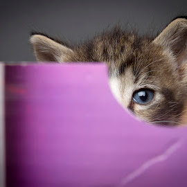 I see you by Eric Christensen - Animals - Cats Kittens ( kitten, purple, box, cute, portrait, eye )