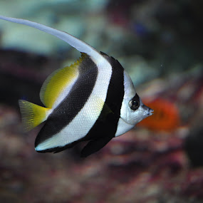 Bannerfish by Steen Hovmand Lassen - Animals Fish ( reef, underwater, bannerfish, yellow, swimming, black )