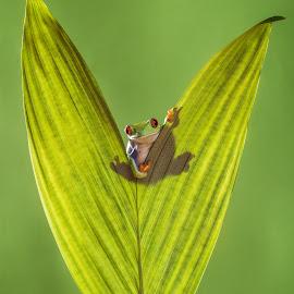 Hide & Seek  by Kutub Macro-man - Animals Amphibians ( macro, nature, frg, leaf, amphibians, close-up, animal )