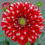 red & white by Mohsin Raza - Flowers Single Flower (  )