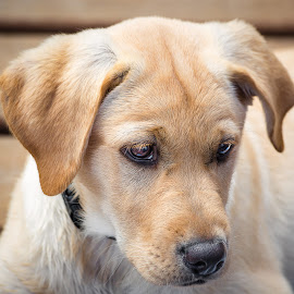 Yellow Lab by Dave Lipchen - Animals - Dogs Puppies ( yellow lab )
