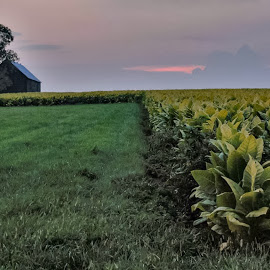 Kentucky Crop by Jim Dawson - Novices Only Landscapes ( #kentucky #crops #farms #barn #summer #evening #weather )