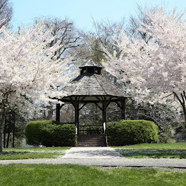 Blossom in the park by Michele Williams - City,  Street & Park  City Parks ( bandstand, band stand, trees, spring, blossom )
