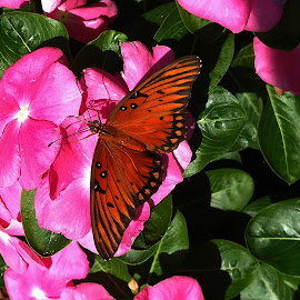 Monarch by Dennis Begnoche - Animals Insects & Spiders ( butterfly, animals, butterflies, monarch, flowers )