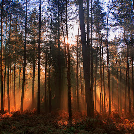 Backlit Beauty by Simon Matthews - Landscapes Forests ( backlit, delamere, wood, trees, forest, sunrise )