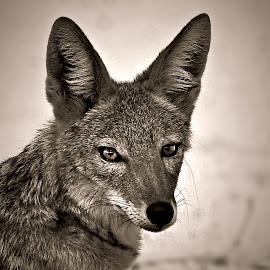 Jackal Portrait by Pieter J de Villiers - Black & White Animals
