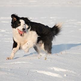 Snowfun by Marjan Smit - Animals - Dogs Running ( happy, snow, splitface, bordercollie, fun, dog, running, snowfun )