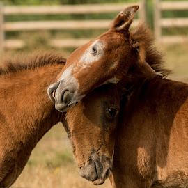 Camargue foals 3 by Helen Matten - Animals Horses ( playing, wild, foals, horses, camargue, white, brown )