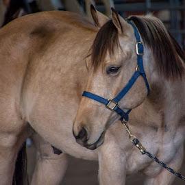 Buckskin Gelding by Leah N - Animals Horses