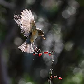Tajgablåstjärt by Niklas Nilsson - Animals Birds