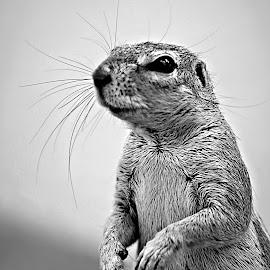 Ground Squirrel by Pieter J de Villiers - Black & White Animals