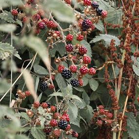 by Beth Alexander - Nature Up Close Trees & Bushes ( blackberry, berry, fruit, autumn, bush )