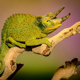 Green at the Gills by Myra Brizendine Wilson - Animals Reptiles ( jackson's chameleon, reptile, chameleon, animal )