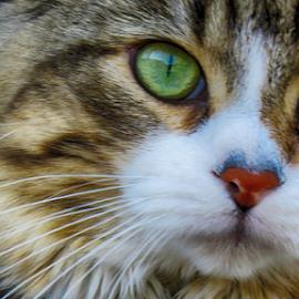 Ti-Minou by Jacques Chalifoux - Animals - Cats Portraits ( cat, chat, félin, portrait, animal,  )