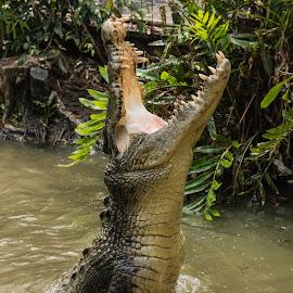 Leaping Croc by Allan Williams - Animals Reptiles ( #animal #australiaanimal #wildlife #queensland #reptile )