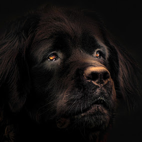 Portrait of a Newfie by Sheen Deis - Animals - Dogs Portraits ( dogs, newfoundland, portraits,  )