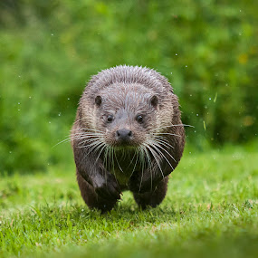 Otter at the charge by Darren Whiteley - Animals Other Mammals ( nature, otter, wildlife, wet, run,  )