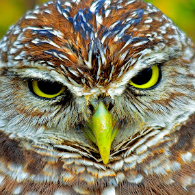 mean owl by Alan Potter - Animals Birds