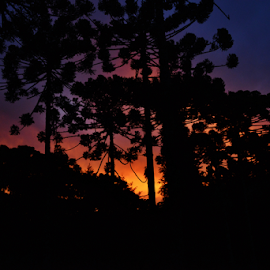 Araucarias Silhouette sunset by Marcello Toldi - Nature Up Close Trees & Bushes