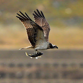 Osprey by Young Sung Bae - Animals Birds