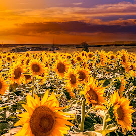 Field of sunflowers on the sunset by Opreanu Roberto Sorin - Flowers Flower Gardens ( bright, sunflowers, sunflower, yellow, landscape, plantation, blossom, crop, sun, sky, nature, sunny, evening, flower, sunbeam, green, beautiful, agriculture, sunlight, farming, field, organic, season, sunset, outdoor, background, meadow, summer, sunrise, golden, growth )