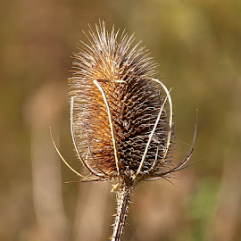 Autumn Teasel by Chrissie Barrow - Nature Up Close Other Natural Objects ( spikes, nature, brown, teasel, bokeh, prickles, closeup, seedhead )