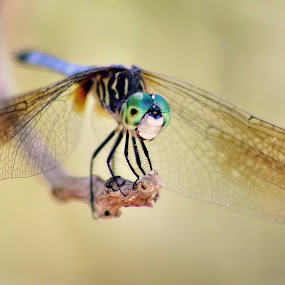 Dragonfly by Katie McKinney - Animals Insects & Spiders ( macros, macro, bugs, nature, turquoise, bug, insect, dragonfly, insects, dragonflies, eyes,  )