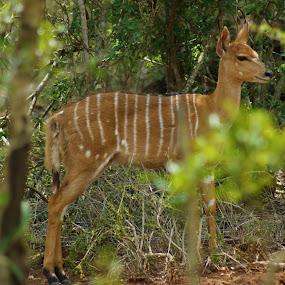 Deer by Jason C Robinson - Animals Other ( deer, stripes, close up, africa, closeup, wildlife )