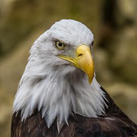 Sam by Garry Chisholm - Animals Birds ( birdofprey, nature, banham, garrychisholm, raptor, baldeagle )