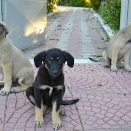 by Rita Bugiene - Animals - Dogs Puppies