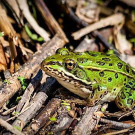 Leopard Frog by Dave Lipchen - Animals Amphibians ( frog, green, leopard frog, pond )