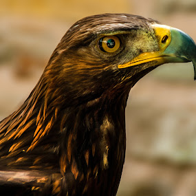 Golden Eagle (Aquila chrysaetos) by Ian Flear - Animals Birds (  )