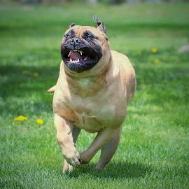 She can run! by Sue Delia - Animals - Dogs Running ( bullmastiff, dog,  )