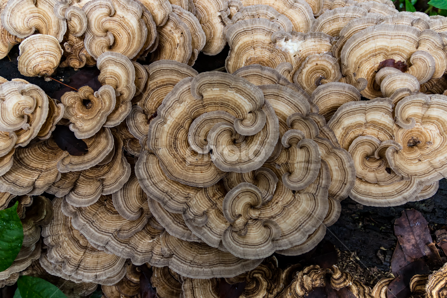 Around and Around We Go by Norma Brandsberg - Nature Up Close Mushrooms & Fungi ( bands, www.elegantfinephotography.com, kawaratake, coriolus, camel colored, fungus, norma brandsberg, photography, fungi, tree, trametes versicolor, photographer, costa rica, mossy, gold, medicine, branches, abstract, orange, inflammation, rot, stump, species, cancer treatment, green, art, white, turkey tail, image, forest, photo, log, rainforest, nbrandsberg@gmail.com, red, trunk, jungle, blue, award winning, medicinal use, saprotroph, branch, yun zhi ch, brown, view, stunning, rotting,  )